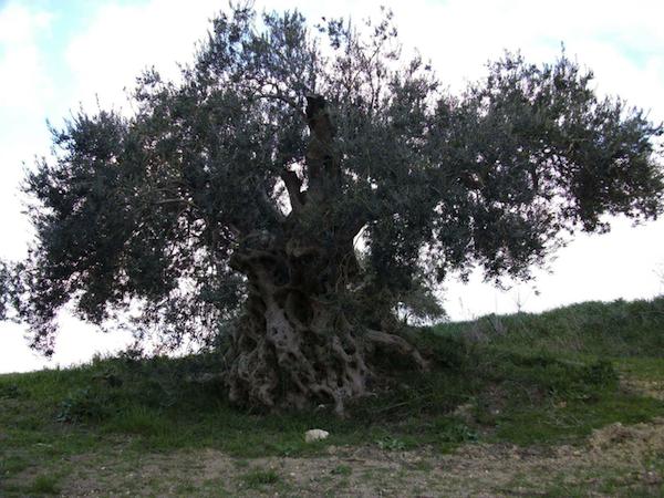 old-olive-tree