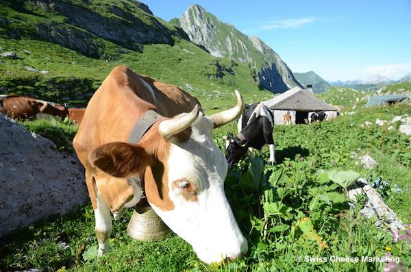 《ハイジの国のチーズたち》雄大なアルプスで育まれる「グリュイエール」