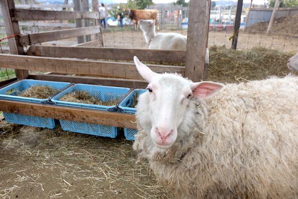 sheep of bocca
