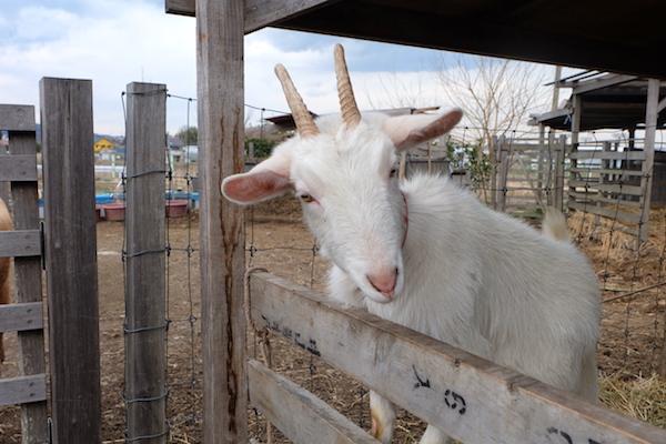 goat of bocca