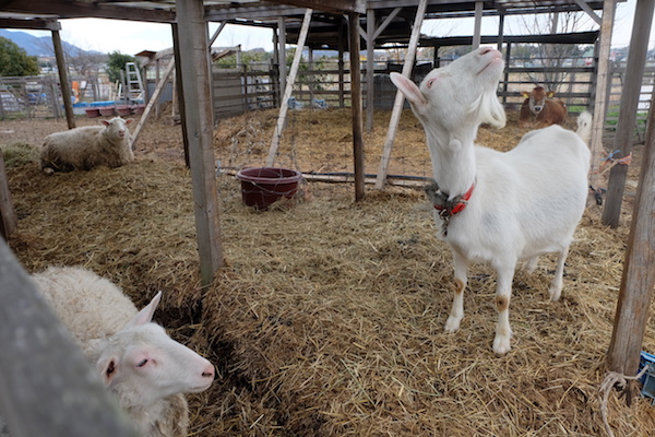 goats of bocca