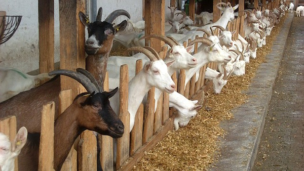 goats for chevre cheese