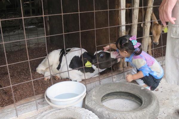 子牛と女の子