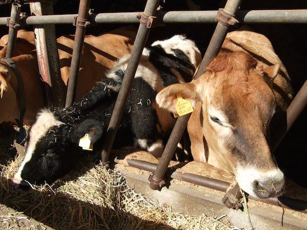 磯沼ミルクファームの牛