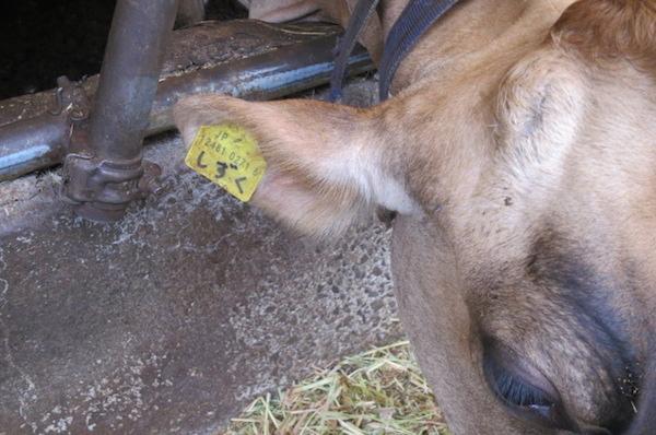 牛(しずく)